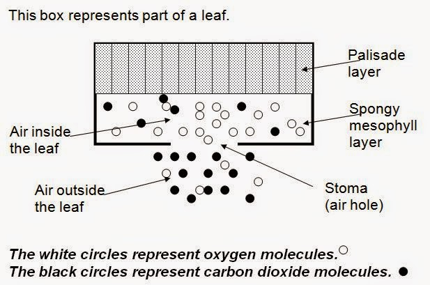Inside Of A Leaf Diagram Network Security Architecture Wigton Physics Photosynthesis And Diffusion