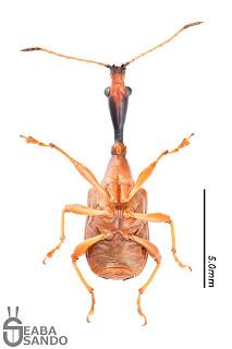 ヒゲナガオトシブミ♂