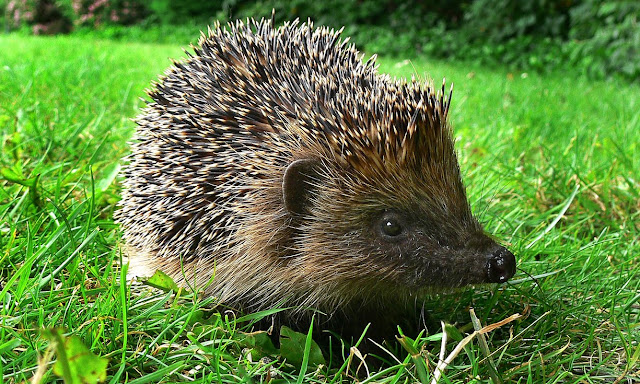 Wanted: Hedgehogs, Dead or Alive