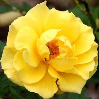 Rosa europea amarilla - Solo Nuevas