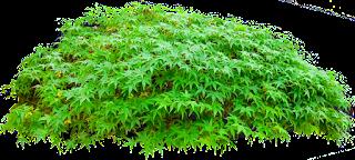 arbustos,follaje,plamtas,png,cutaut,sin fondo,tube,clipart,tecursos.arquitectura