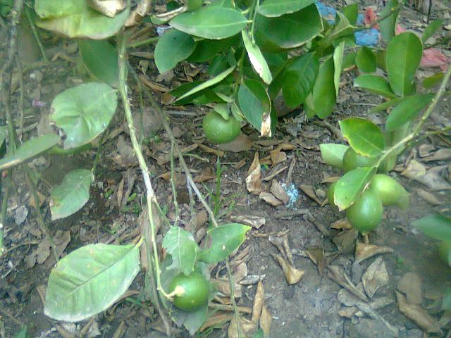 Pohon Jeruk Nipis Berbuah di Kebun