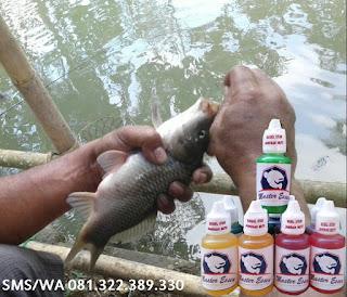 Essen Untuk Umpan Ikan Mas Harian