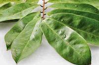 manfaat daun sirsak  | Khasiat daun sirsak Untuk Kecantikan