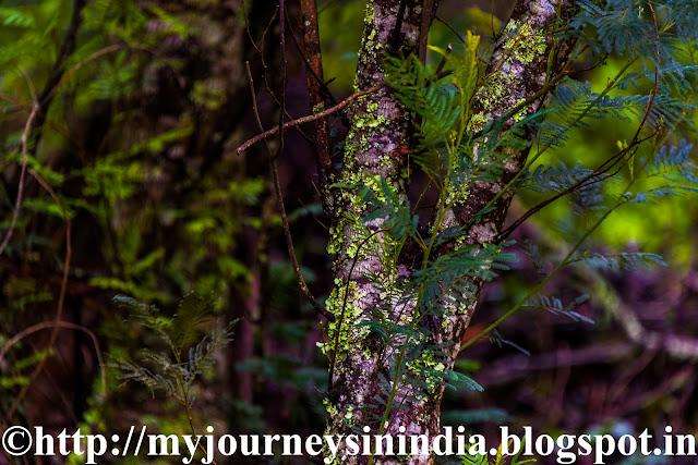 Green Lichens on top of Trees at Berijam Lake Kodaikanal