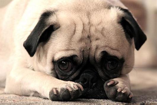 Đoán tâm trạng qua hành động của chó