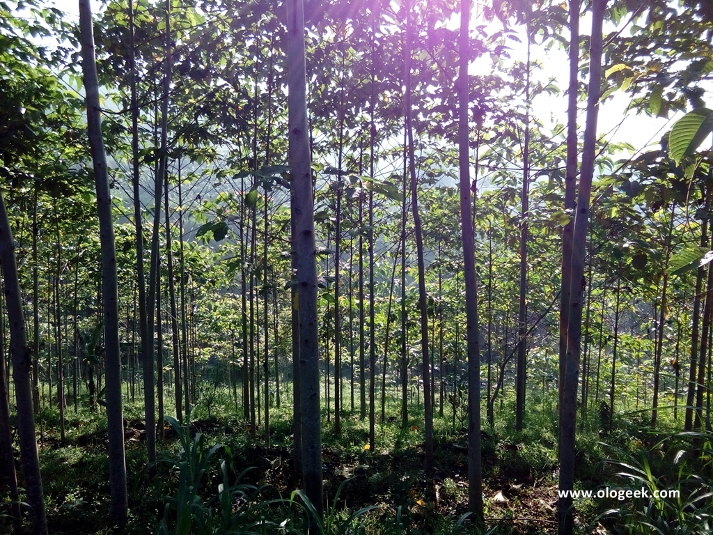 Ologeek Hutan Tanaman Industri