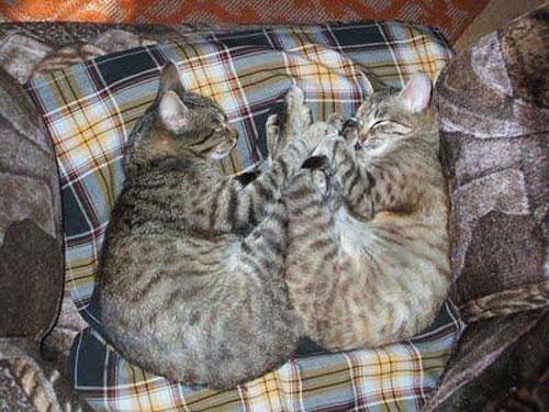 Hình 1: Hai chú mèo ngủ chụm chân và đuôi vào nhau