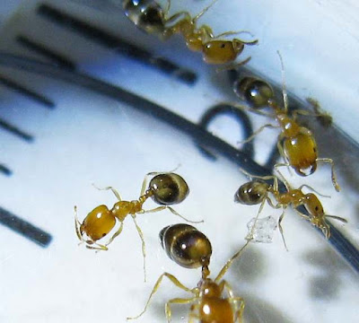 Workers of Monomorium destructor