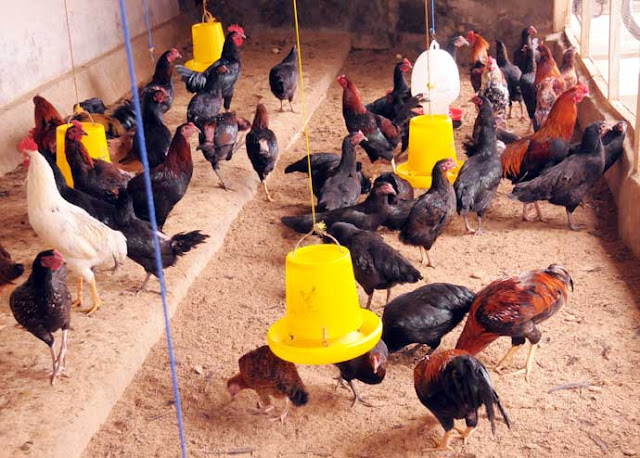 Keutungan Budidaya Ayam Joper, Balik Modal Dalam Waktu Relatif Singkat