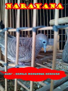 Arti Katuranggan Berdasarkan Bentuk Fisik Burung Perkutut