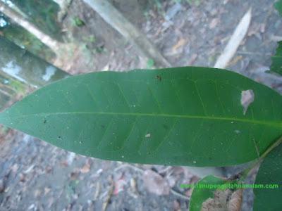 Gambar Daun Jambu Air