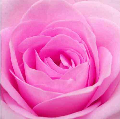 http://3.bp.blogspot.com/-A5gpBRY0poA/UZw6LPZPZYI/AAAAAAAAACg/LgOyTtf38a8/s320/bunga-mawar-pink.jpg