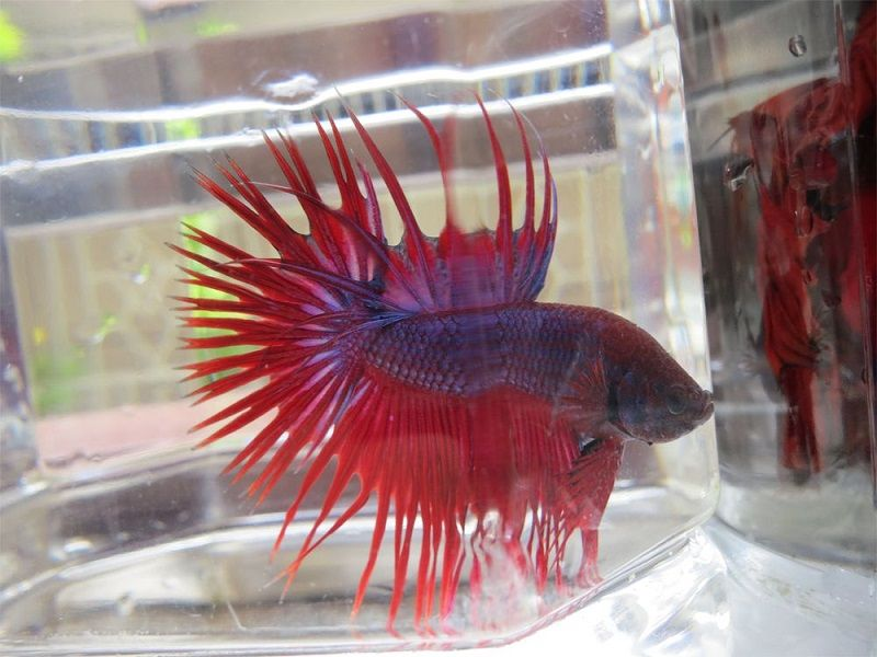 Image The Ultimate Live Food for Betta Trick