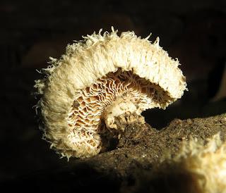 Lentinus crinitus
