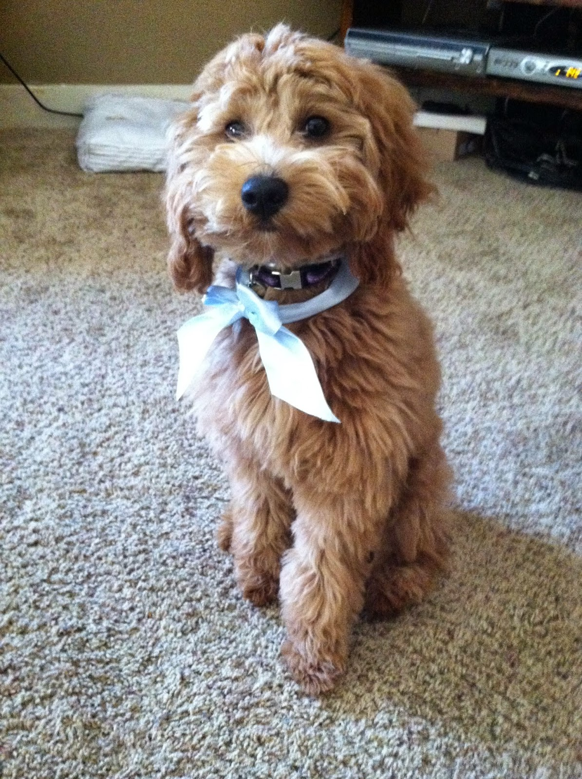 goldendoodle haircuts pets goldendoodle haircuts f1b goldendoodles by rosie what generation of goldendoodles