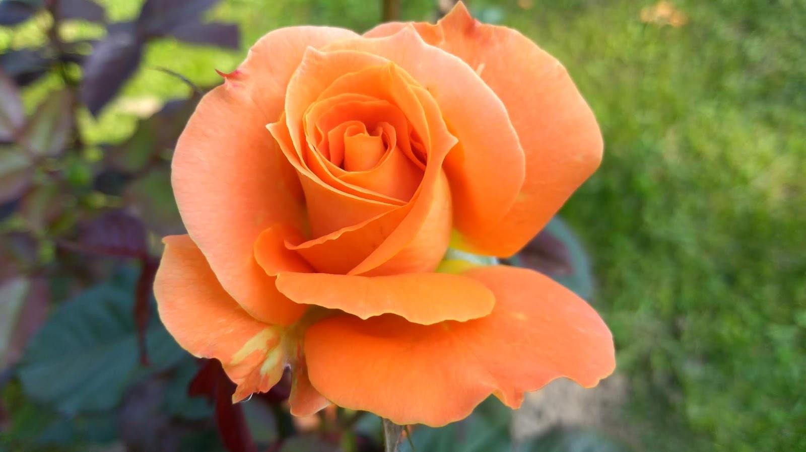 flora danica roser