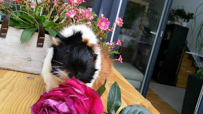 www.meerschweinchen-verstehen.de - Meerschweinchen Muck spielt mit der Rose