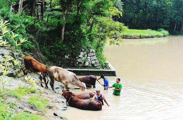 Sapi-sapi lain pun berdatangan ke sendang