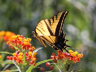 Tropical Milkweed and Butterfly