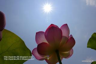 蓮の花と太陽の写真