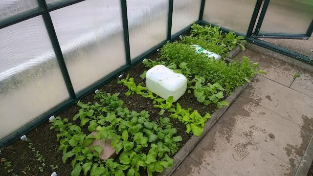 junges Gemüse im Gewächshaus (c) by Joachim Wenk