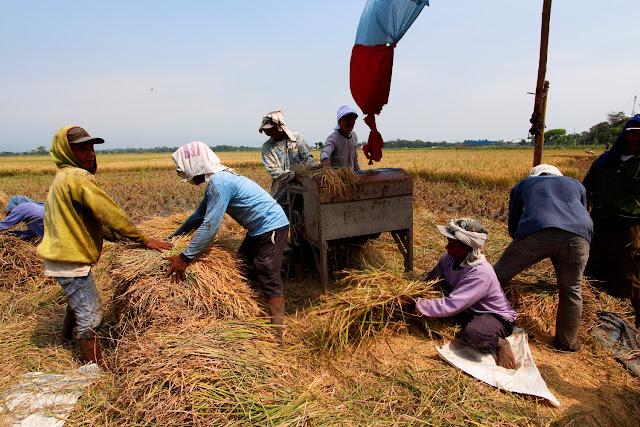 Recolectando arroz