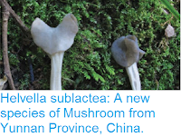 http://sciencythoughts.blogspot.co.uk/2016/03/helvella-sublactea-new-species-of.html