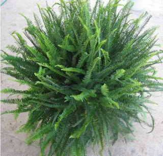 Kimberly Queen fern, top air-purifying plant