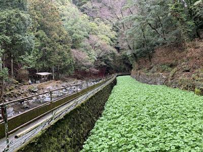 浄蓮の滝そばのわさび畑