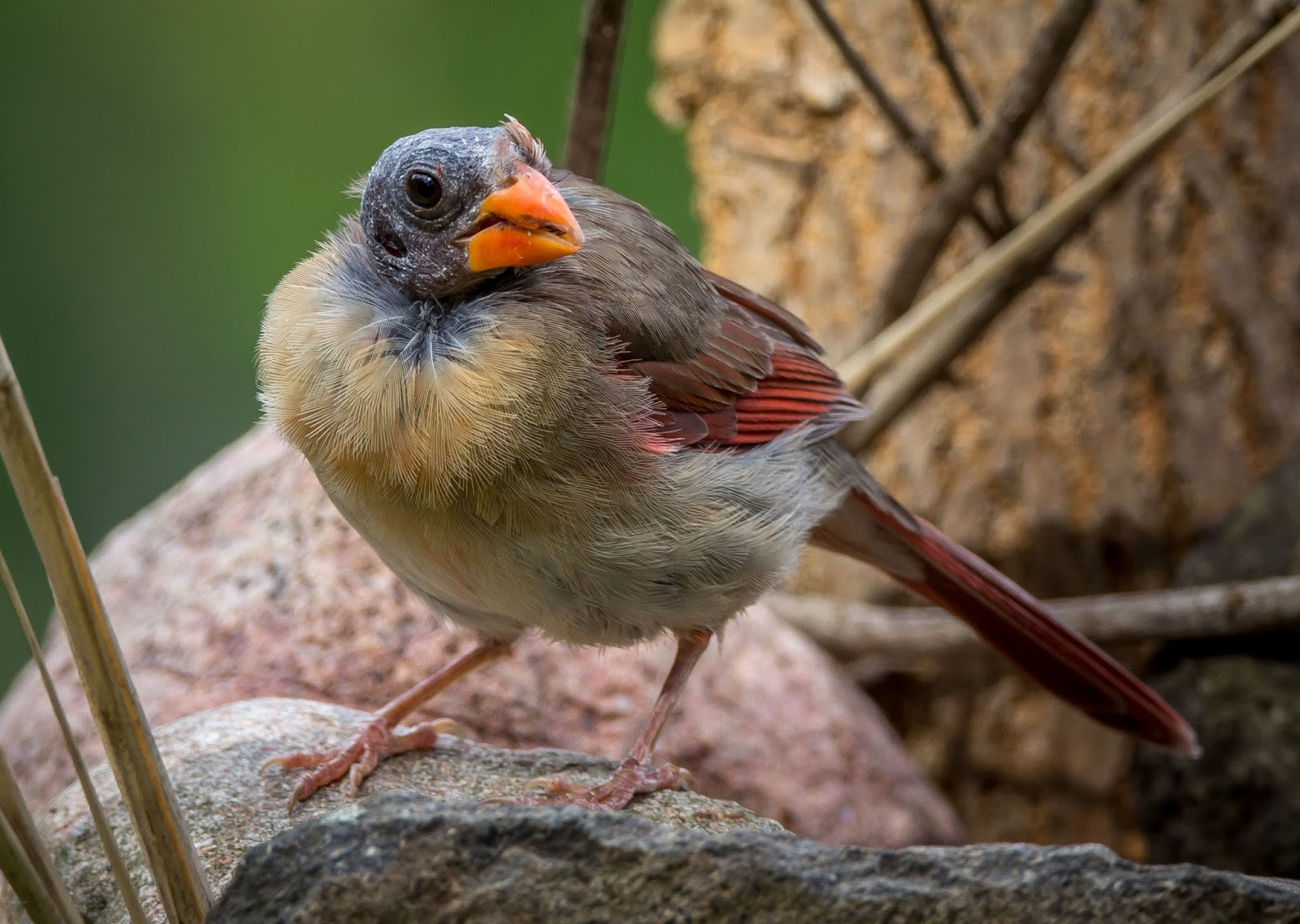 feather tailed stories northern cardinal molt