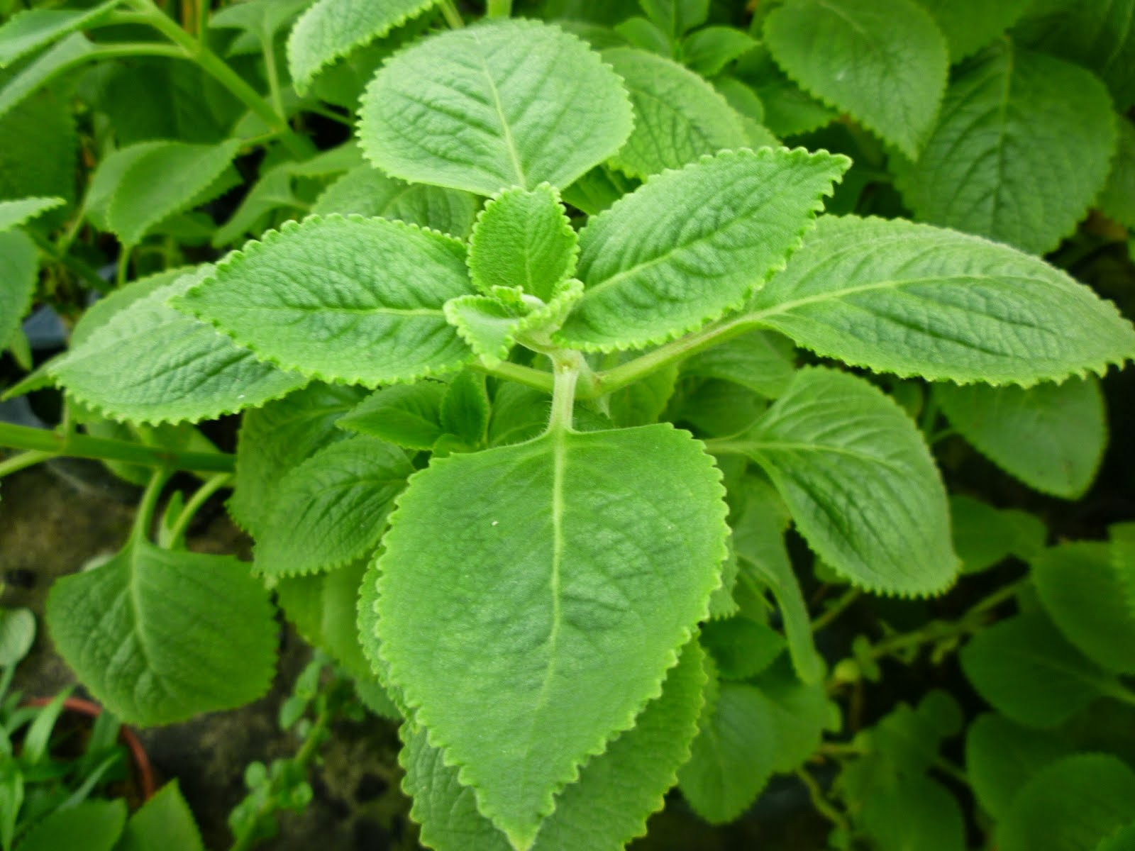 ati2 hijau, bangun bangun, daun ati ati, semput, lelah, batuk, kahak, tips asma, asthma, nebulizer, petua lelah, petua semput