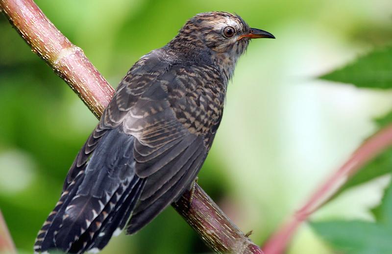 Fakta Burung Kedasih Yang Begitu ''Kejam'' Dalam Hal Perkembang Biakanya