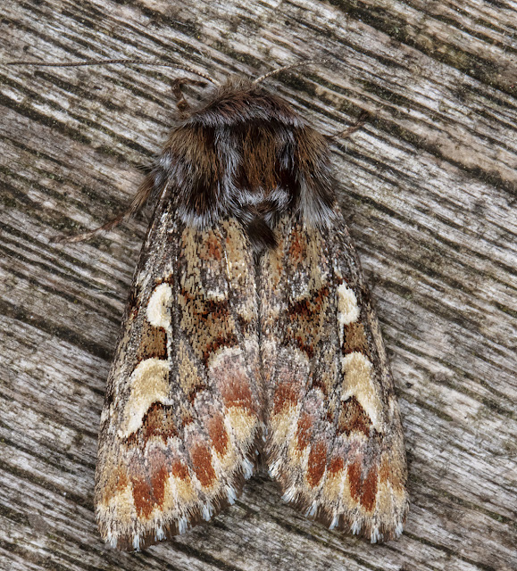 Pine Beauty, Panolis flammea.  In my garden light trap on 21 April 2018.