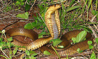 Cobra hocicuda Naja annulifera