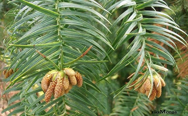 Hojas y conos de HAYATA Cunninghamia konishii