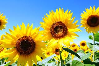 Gambar Bunga Matahari Paling Indah 200020_Sunflower