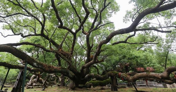 台中石岡|五福臨門神木|五樹環抱共生|延伸的枝幹發展出奇特景觀