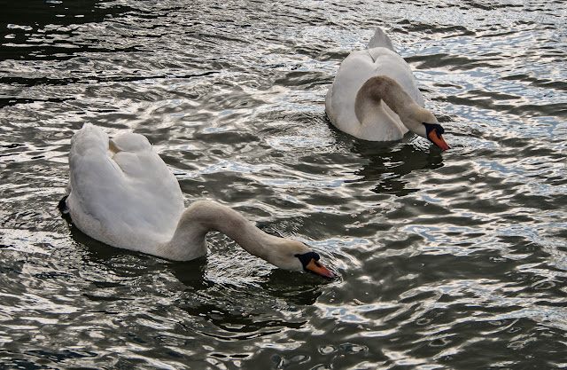 Photo of feeding time for the swans at Maryport Marina