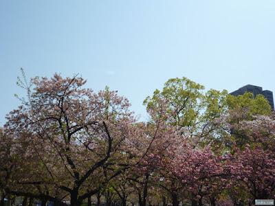 染井吉野と八重桜