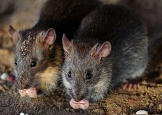 Ditinggal ke Pesta, Bayi Ini Tewas Wajahnya Dimakan Tikus