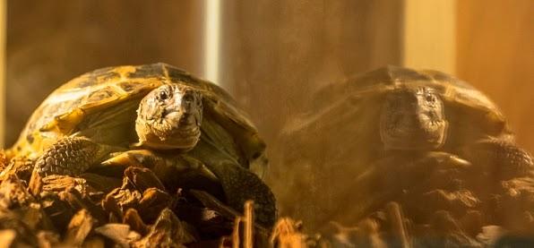 Elementary turtle Clyde Sherlock Holmes pet