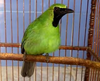 8 Cara Mudah Mengetahui Ciri Fisik Burung Cucak Ijo Sumatra Paling Lengkap