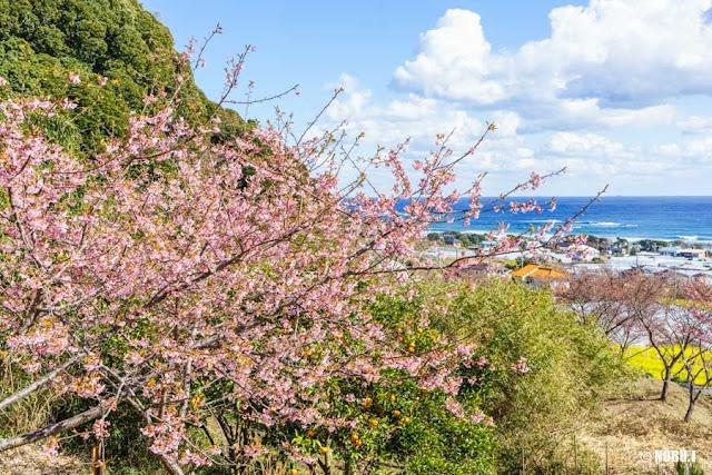 抱湖園(南房総市)の元朝桜