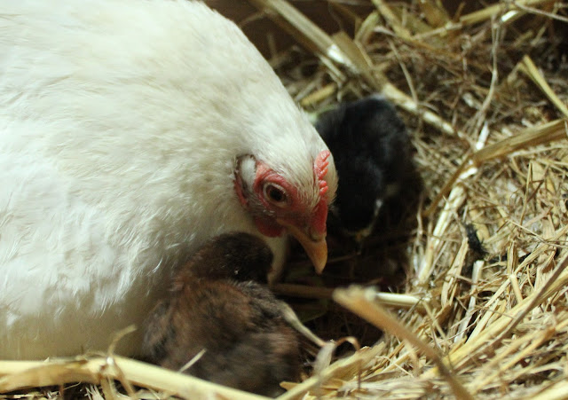 Cochin bantam with chicks - organically raised