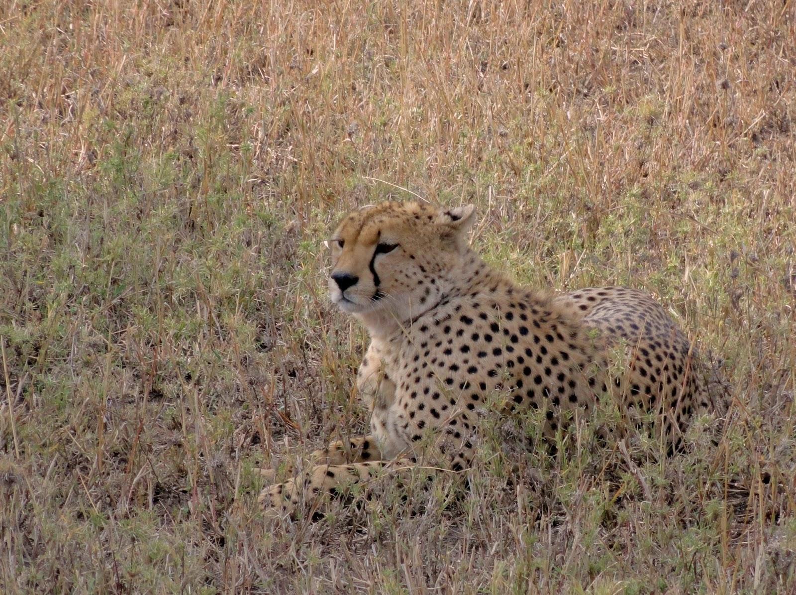 Cheetah-Wild-Africa