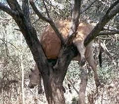 Vaca pendurada árvore
