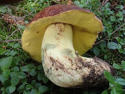 grzyby 2017, grzyby w lipcu, grzyby na Orawie, borowiki, borowik szlachetny, borowik górski, borowik usiatkowany, borowik ceglastopory
