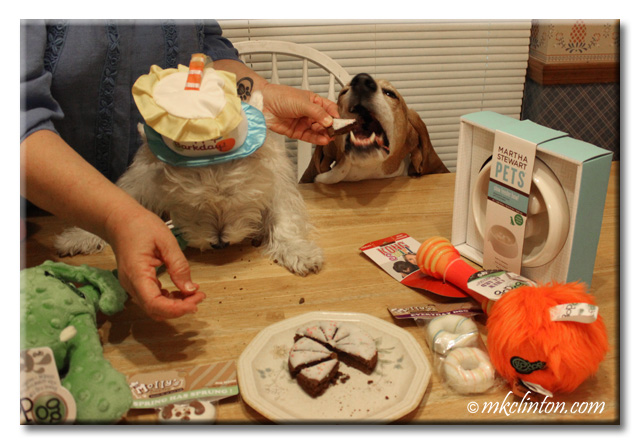 Basset Hound takes a bite of birthday cake.