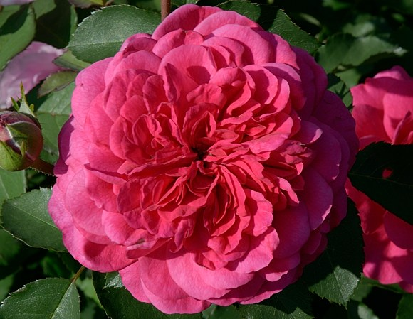Sir John Betjeman сорт розы фото Остин купить саженцы в питомнике Минск